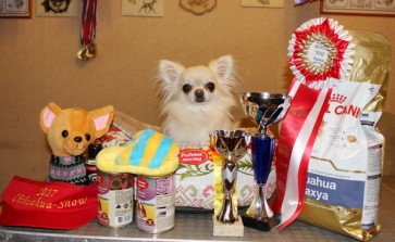 Ju CH.Russia,Junior World Winner,Junior Club Champion ,CH.Russia,Grand Ch. Russia GENTLE KISS YOU MY PRINCE чихуахуа